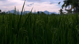 Reveal of volcanos of Bali, Indonesia through a lush rice field near Ubud during sunset or sunrise