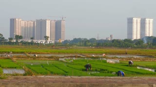 Rice farmers work as large buildings are constructed on rural land