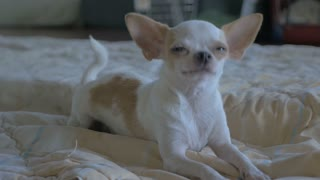 Slow motion of a chihuahua laying on a blanket looking at the camera