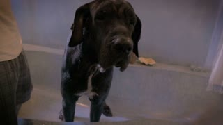Slow motion shot of a huge Great Dane dog shaking off water in a bathtub after a bath.
