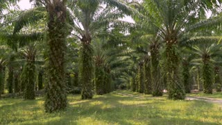 Symmetrical rows of palm trees used in the manufacturing of palm oil for human consumption used in many processed foods in 4k