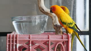 Two conure parrots perched on a plastic crate and wooden stick while one takes a drink out of water out of a glass bowl outside of a cage.