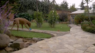 A well behaved pit bull terrier dog sits attentively in a yard in slow motion dolly shot