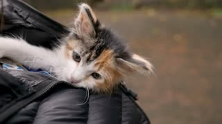 An adorable small young kitten yawning while hanging out inside a warm coat in slow motion