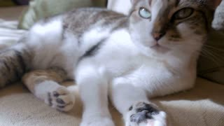 Beautiful healthy grey and white short haired pet cat lying down, purring and looking towards the camera in slow motion