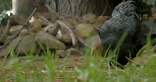 Close up of a free range black australorp chicken eating and pecking feed from the grass- low angle