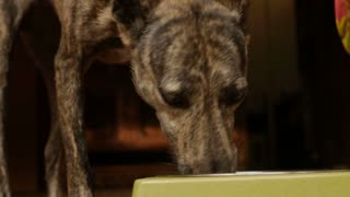 Close up of a mixed breed dog eating food well looking at the camera in slow motion