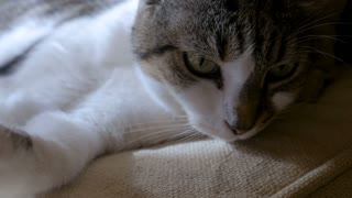 Close up of a purring cat lying down staring or looking at something with a fixed gaze before getting up in slow motion