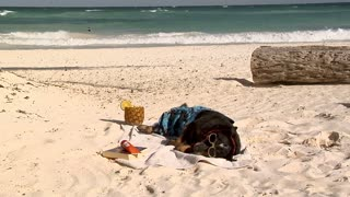 Dog in a swimsuit and sunglasses lying on ocean beach in sand and towel with fancy pineapple drink book and sunscreen like he is on vacation.
