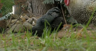 Ground level shot of a barred rock rooster and two free range organic chickens eating chicken feed on the grass