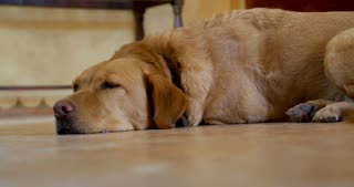 Large yellow or golden labrador retriever mixed breed dog lying on the floor sleeping, waking up and walking away