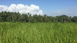Long tall green grass blowing in the wind in a field with palm trees, blue sky and white fluffy clouds on tropical island, like Bali