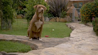 Obedient female pit bull dog patiently waiting in a sit stay in a lovely outdoor garden on a stone path - dolly shot