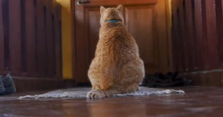Orange ginger cat sitting on a rug looking at a door and turning toward camera as if he is waiting for his owner to come home