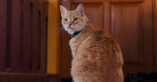 Pan up of an orange cat looking at the camera and then turning towards a door as if he is waiting for his owner to return home