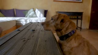 Profile of a beautiful yellow or golden labrador retriever mixed breed pet dog sitting at attention listening to an owner for instructions in slow motion