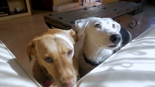 Two cute well behaved friendly large mixed breed dogs eating a treat out of a hand in slow motion
