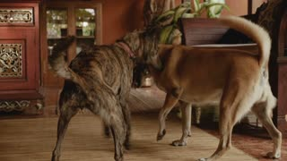 Two medium sized mixed breed dogs playing together in slow motion