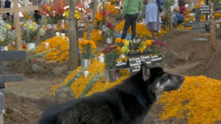 TZURUMUTARO, MEXICO - NOVEMBER 1, 2016 - A stray mongrel dog walking through a graveyard while families decorate graves of their departed loved ones during day of the dead
