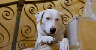 Well behaved large mixed breed white and black dog lying on a spiral staircase - close up push in