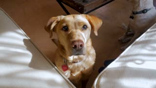 Yellow or mixed breed labrador dog shaking his head up and down like he is saying yes in slow motion
