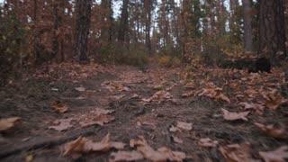 Autumn Forest, Moving Forward, Steadicam Shot