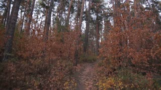 Autumn Forest, Moving Forward, Steadicam Shot