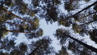 Rotating Tall Tree Crowns In The Pine Forest