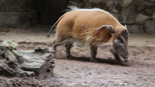 Bearded pig in the dirt