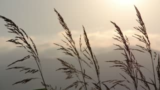 Long stalks moving in the wind