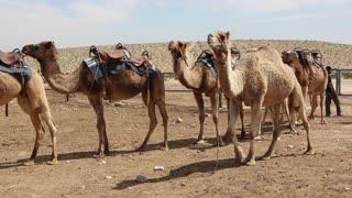Shot of Camels in the hot desert
