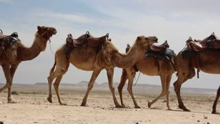 Shot of caravan of camels in the desert