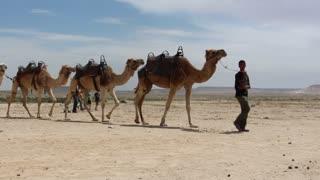 Shot of Bedouin boy leading a caravan of camels