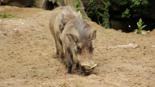 Shot of Two wild pigs, Wild pigs in daylight outdoor