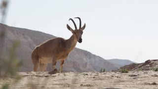 Shot of Wild animals in the desert in Israel