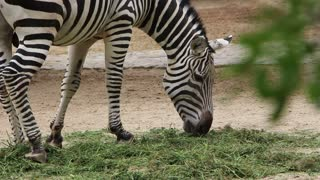 Shot of Zebra eating grass