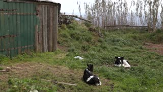 Baby cows calfs resting in the countryside on sunny day