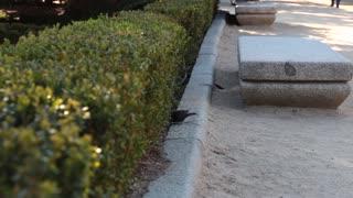 Black bird hopping around