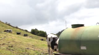 Cow drinking water with lush pastures and other cows behind pan