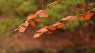 Two branches of leaves in autumn