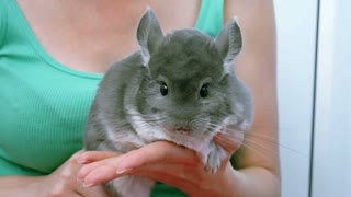 A grey chinchilla on hands of young woman
