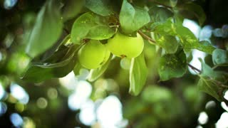 Apple orchard. Apple tree branches with green ripe fruits