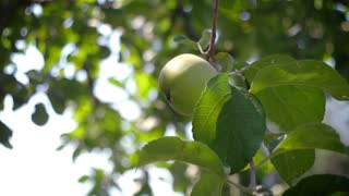 Apple orchard. Apple tree branches with green ripe fruits.