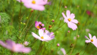 Bees collect pollen from pink flowers in the wind