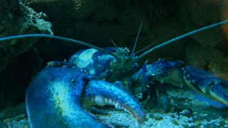 Big blue lobster in aquarium