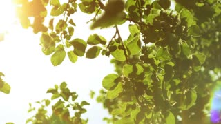 Nature background. Sun shines through the blowing on wind tree green leaves