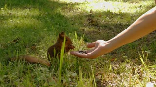 Squirrel eat nuts from hand of a young woman in summer park