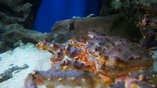 The King crab in aquarium