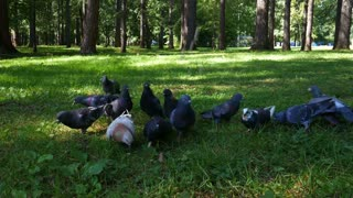 Two years old baby boy runs with pigeons in a summer park