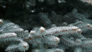 Close up view of snow falling on branches of pine tree.